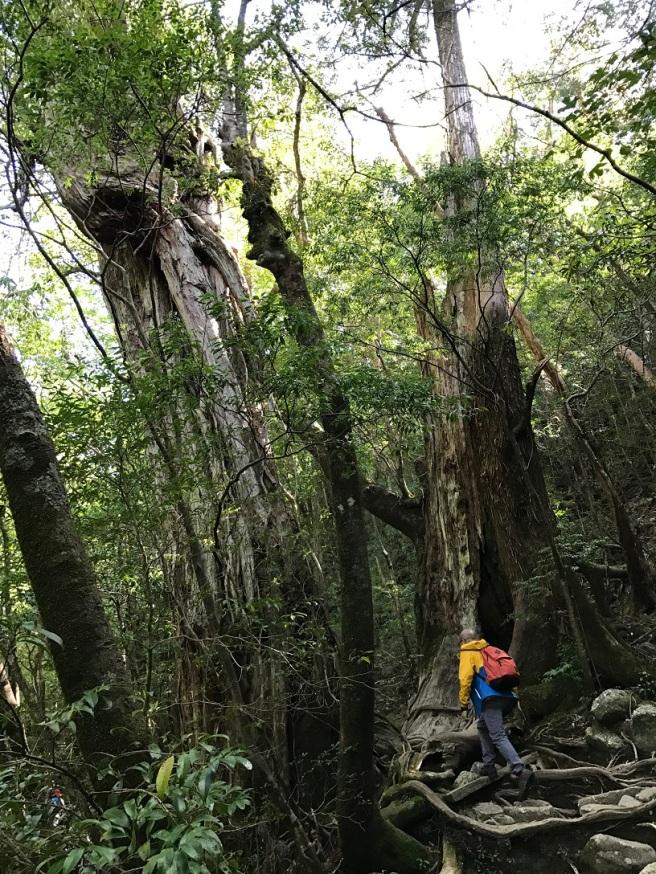 Hiking 8.5.17 - Jomon Sugi yakushima (20)