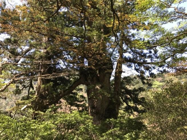 Hiking 8.5.17 - Jomon Sugi yakushima (29)