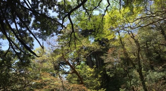 Hiking 8.5.17 - Jomon Sugi yakushima (33)