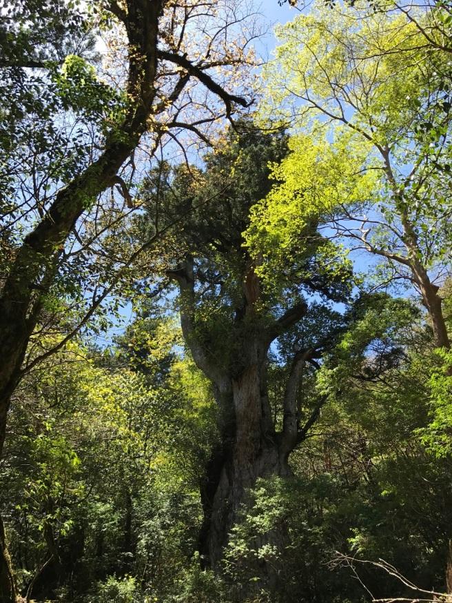 Hiking 8.5.17 - Jomon Sugi yakushima (34)