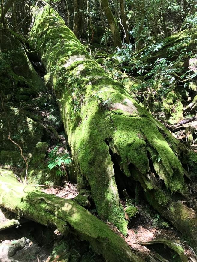 Hiking 8.5.17 - Jomon Sugi yakushima (38)