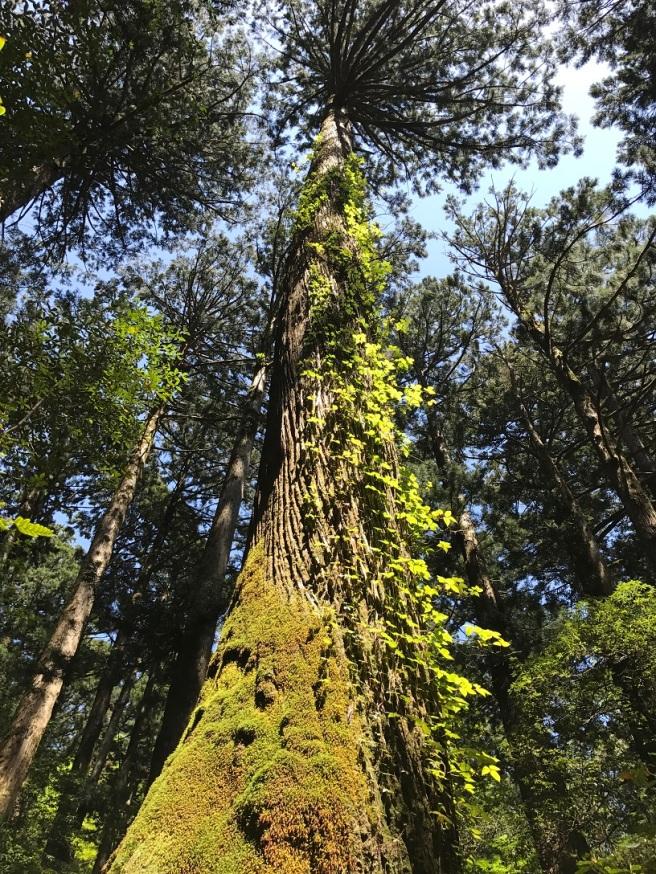 Hiking 8.5.17 - Jomon Sugi yakushima (43)